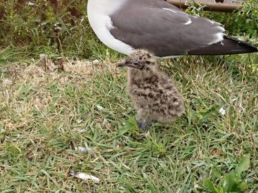 蕪島 ウミネコの赤ちゃん