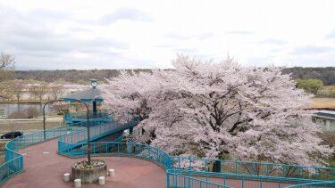 【那須】那珂川河畔公園と黒磯公園の桜が見頃でした。
