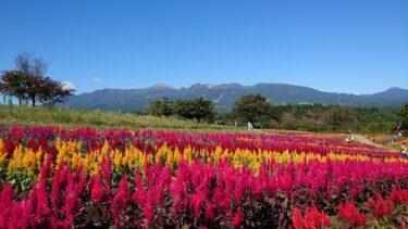 那須フラワーワールドでケイトウの花が見頃です(2021年9月20日)